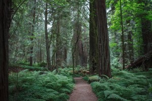 Mighty Giant Redwoods