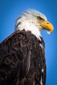 Yellowstone Eagle-1