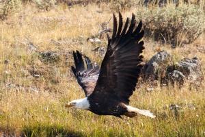 Yellowstone Eagle-10