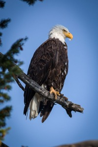 Yellowstone Eagle-2