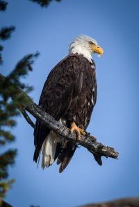 Yellowstone Eagle-2