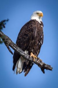 Yellowstone Eagle-3