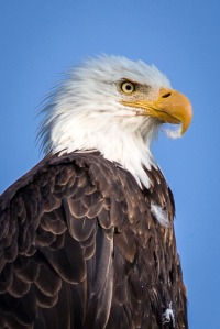 Yellowstone Eagle-4