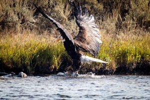 Yellowstone Eagle-5