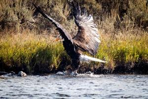 Yellowstone Eagle-5