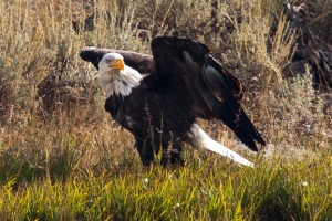 Yellowstone Eagle-6