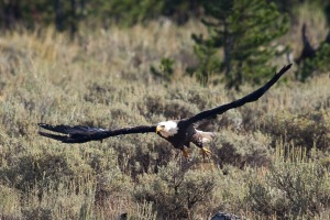 Yellowstone Eagle-7
