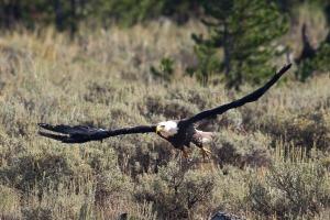 Yellowstone Eagle-7