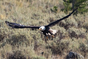 Yellowstone Eagle-8
