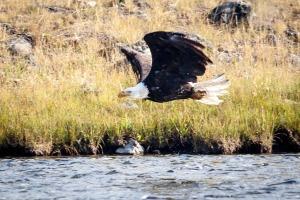 Yellowstone Eagle-9