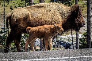 Yellowstone0021