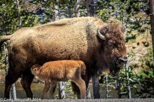 Yellowstone0022