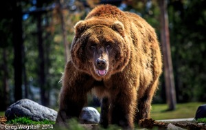 Grizzly & Wolf Center-2