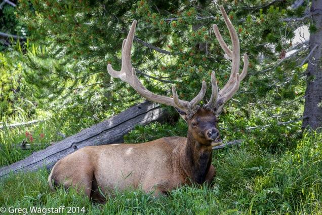 Regal Bull Elk