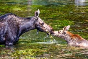 Elusive Moose-4
