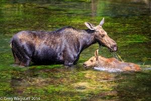 Elusive Moose-6