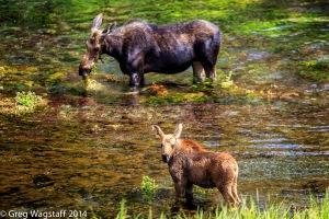 Elusive Moose-7