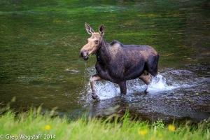 Elusive Moose-8