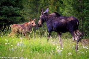 Elusive Moose-9
