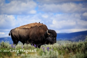 Good Bye Yellowstone-17