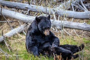 Yellowstone 2015-1