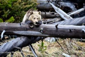 Yellowstone 2015-14