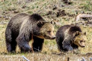 Yellowstone 2015-16
