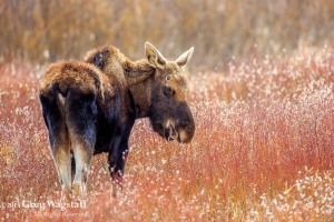 Yellowstone 2015-8
