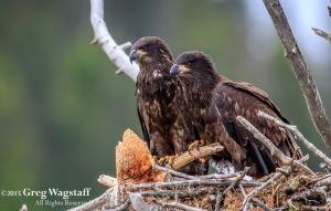 Juvenile Eagles In Nest Quake Lake
