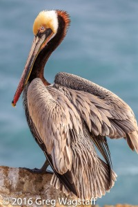 La Jolla Pelicans-1