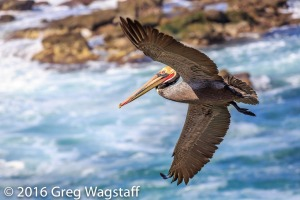 La Jolla Pelicans-10