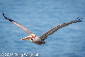 La Jolla Pelicans-11