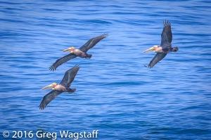 La Jolla Pelicans-12