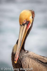 La Jolla Pelicans-2
