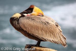 La Jolla Pelicans-3