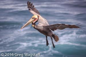 La Jolla Pelicans-4