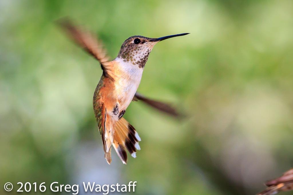 Hummingbird Tagging-10